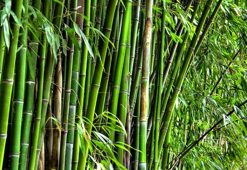 Image result for cara memotong bambu agar tidak dimakan bubuk