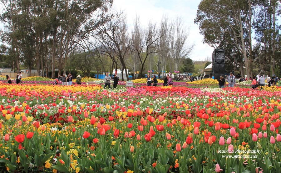Mengintip Festival Bunga Tulip di Canberra, Australia - KOMPASIANA.com