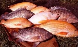 Blog Yusuf Ramli Inilah Cara Super Budidaya Ikan Nila Halaman All Kompasiana Com