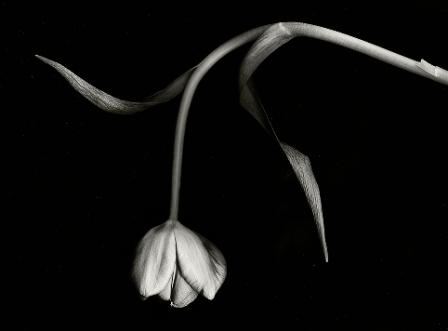 74+ Gambar Bunga Mawar Hitam Layu Kekinian