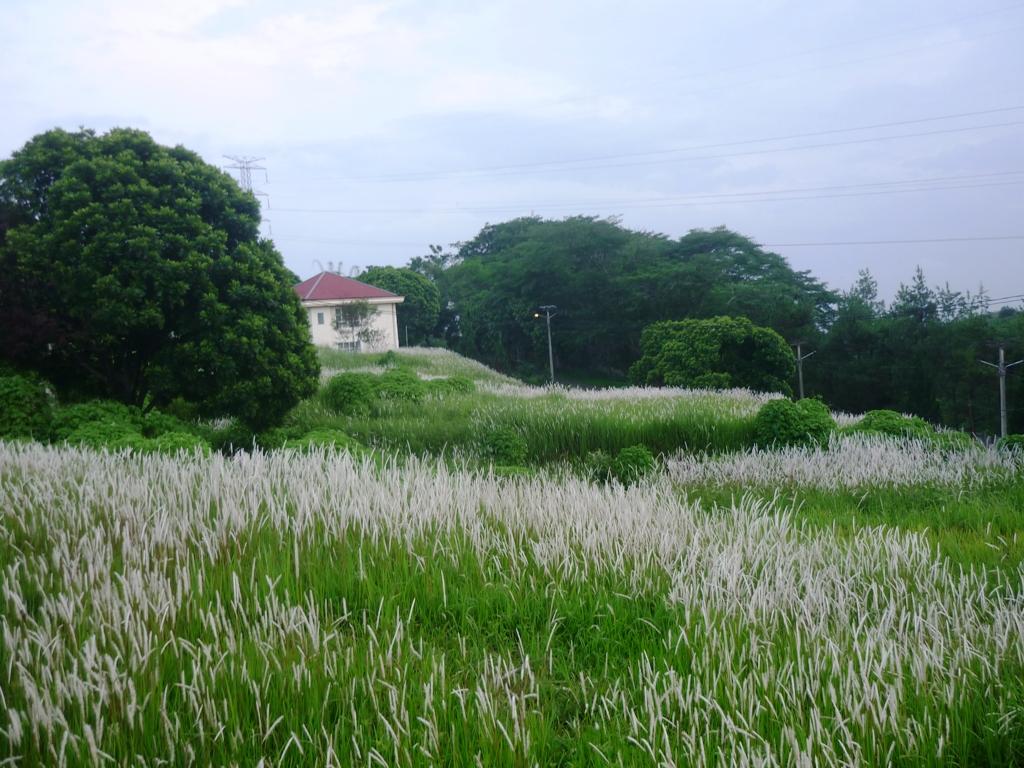 Rumput Ilalang di Sekitar rumah - Kompasiana.com