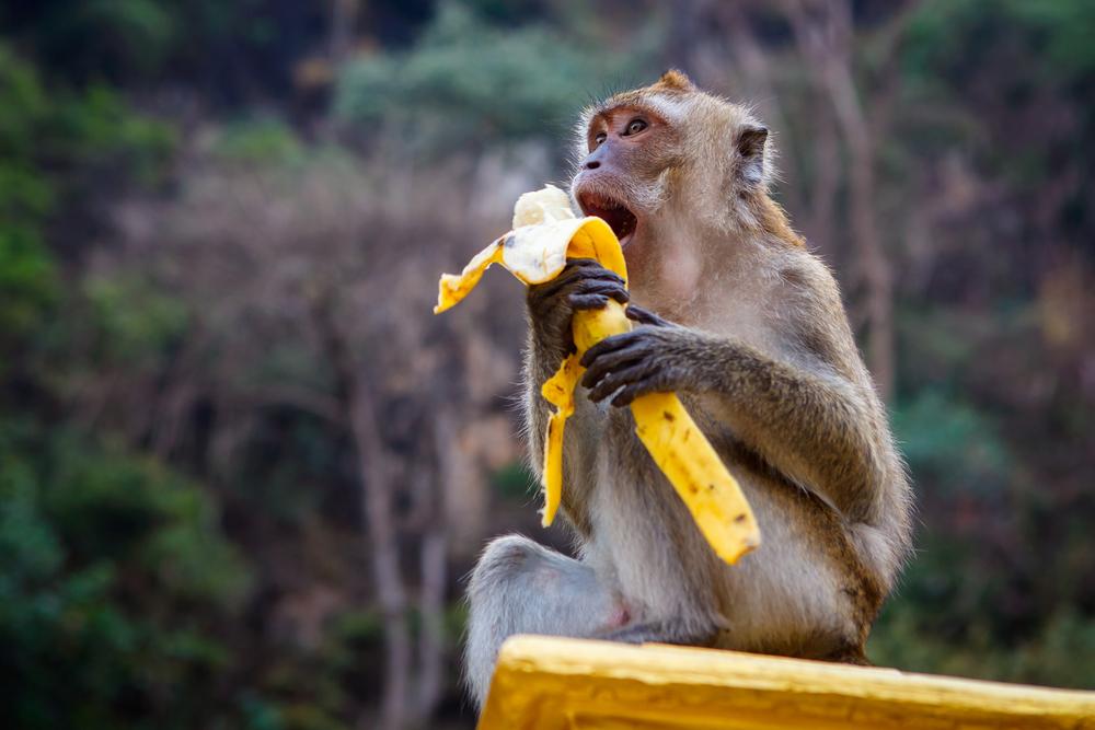 Gambar Monyet Bawa Pisang 100puisi Mereka Bilang Aku Monyet Halaman 1 Kompasiana Com
