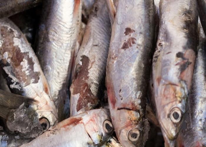 Pembusukan Pada Ikan