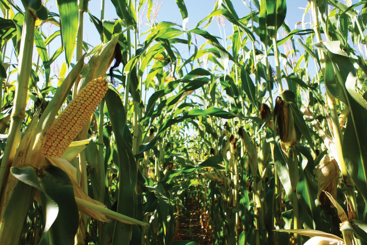 king corn essay Aaron woolf is the director/producer of the documentary king corn in the documentary woolf followed ian cheney and curt ellis a yearlong to understand where their food comes from by growing it while filming the documentary ian cheney and curt ellis tried to go corn free for a month they discovered.