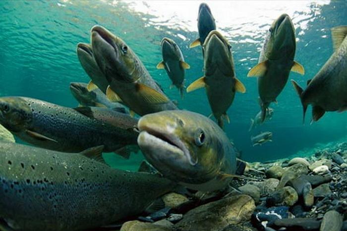 Anomali Kehidupan Ikan Migrasi Ke Jenis Air Yang Berbeda Untuk