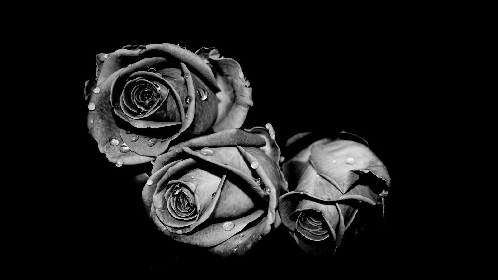 Download 4000 Koleksi Wallpaper Bunga Mawar Hitam Hd HD Terbaik