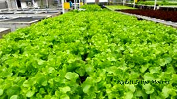Ngintip Kebun Sayur Hidroponik Milik Roni Di Tangerang