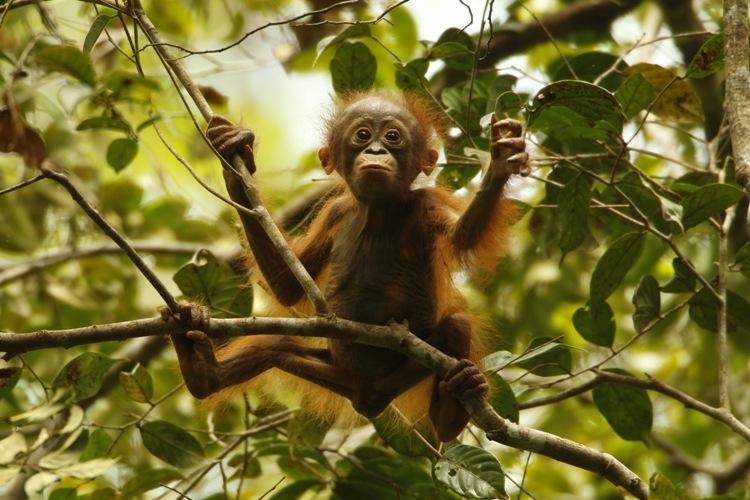 orangutan sangat terancam punah apa