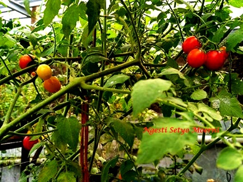 Buah buahan yang Cocok untuk Halaman Kecil oleh Ngesti Setyo Moerni