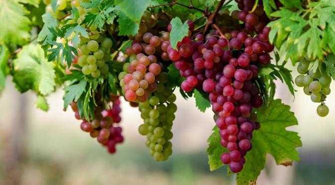 Hasil gambar untuk Manfaat Buah Anggur Untuk Kesehatan