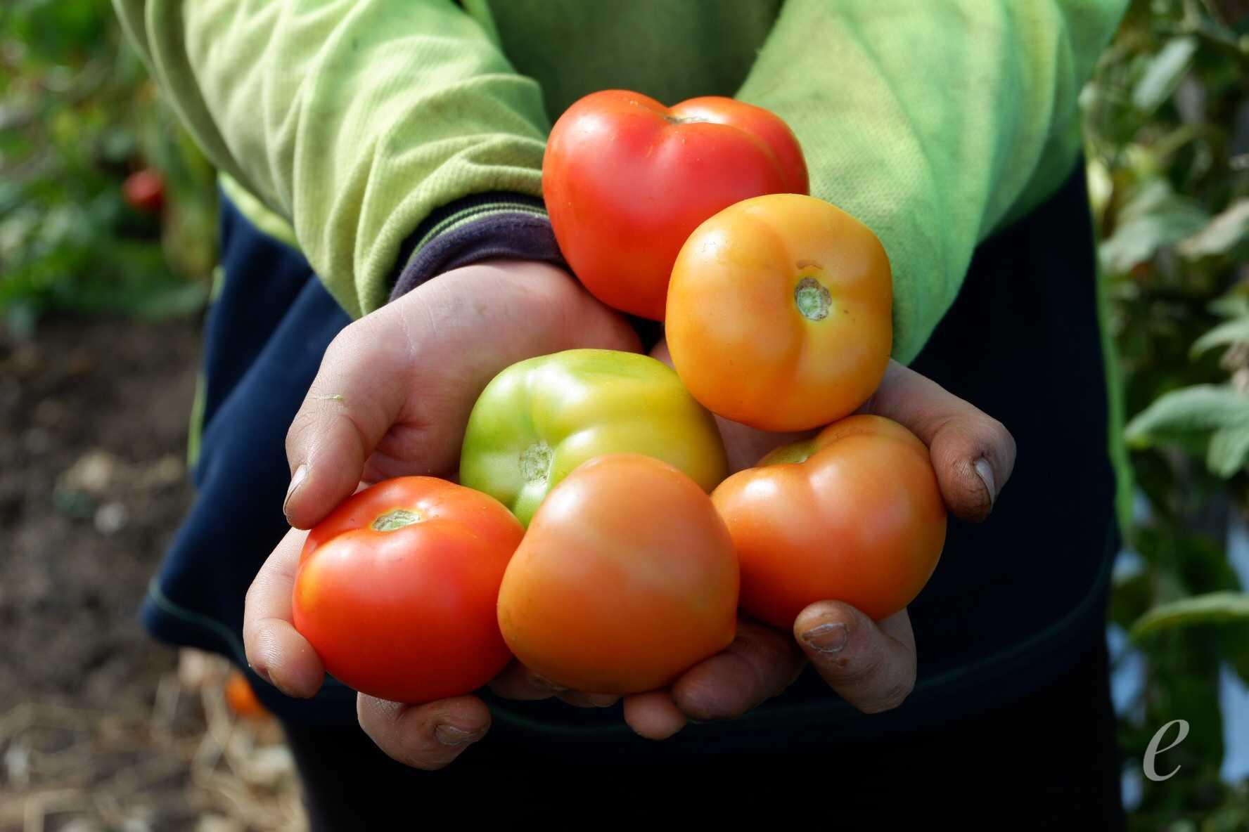 Benarkah Pemetik Tomat Digaji 60 Juta Ini Pengalaman Saya Oleh