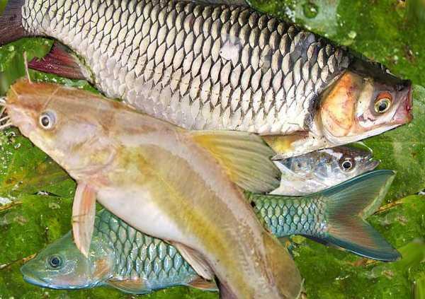 Di Sumatera Utara Ikan Air Tawar Semakin Langka Kompasiana Com