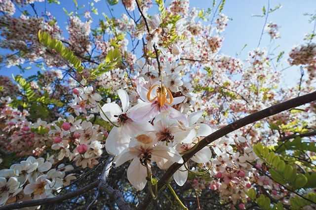 Bunga Konjil Bunga Sakura Khas Bumi Sumba Halaman All Kompasiana Com