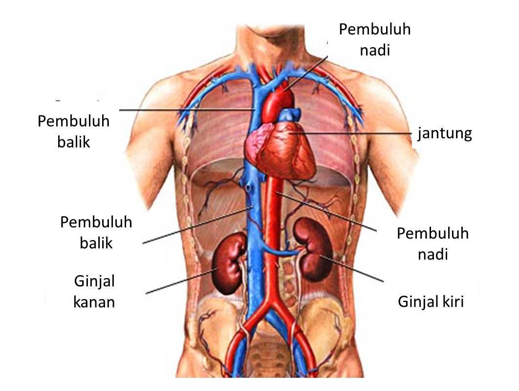 53 Gambar Organ Hati Manusia Dan Fungsinya Terlihat Keren