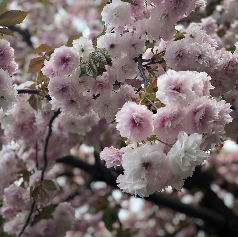 Membawa Pulang Bunga Sakura Kompasiana Com