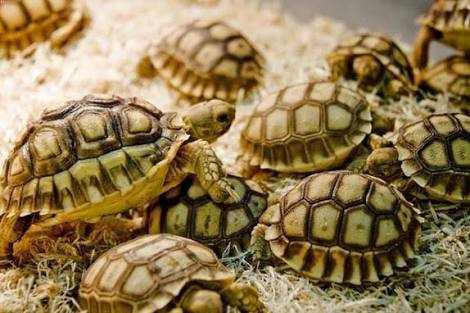 Kura-kura Berhasil Menang Mengalahkan Ancaman Kepunahan - Kompasiana.com