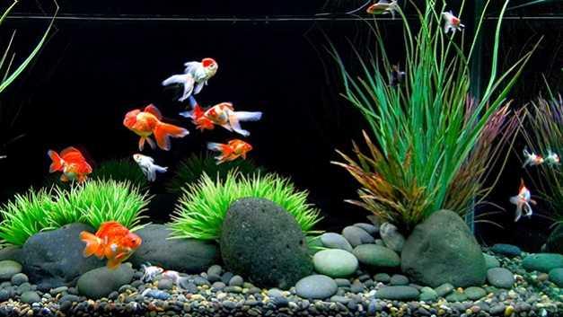 jenis ikan koki 5b5043615e137357c75f9e62 - Jenis Jenis Ikan Mas Koki
