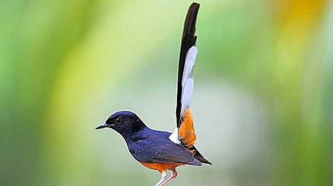 Inilah Jenis Jenis Burung Murai Batu Kicau Mania Wajib Tahu Halaman 1 Kompasiana Com