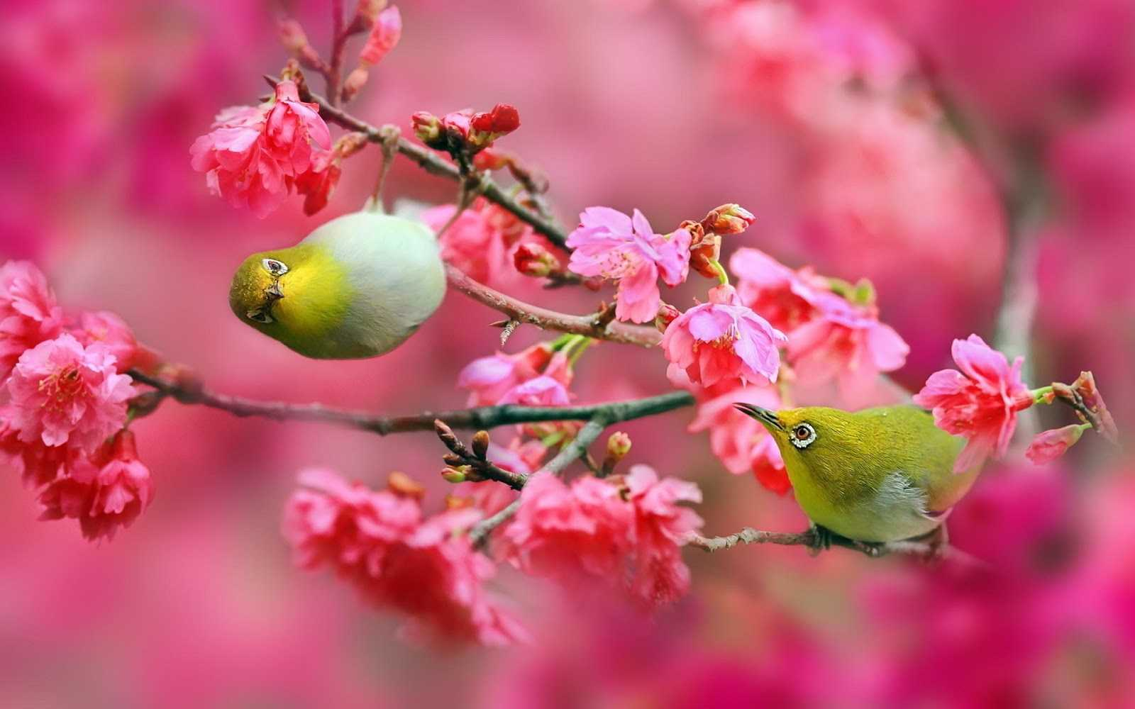 Unduh 1000+ Wallpaper Bunga Sakura Bergerak HD Paling Baru