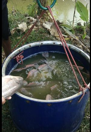 Cara Cepat Panen Ikan Gurame Ini Caranya Halaman 1 Kompasiana Com
