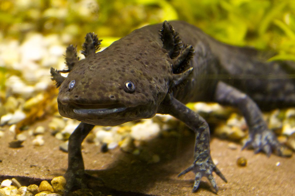 29+ Foto hewan salamander terupdate