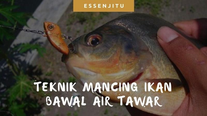 Teknik Mancing Ikan Bawal Air Tawar Yang Wajib Anda Coba Kompasiana Com