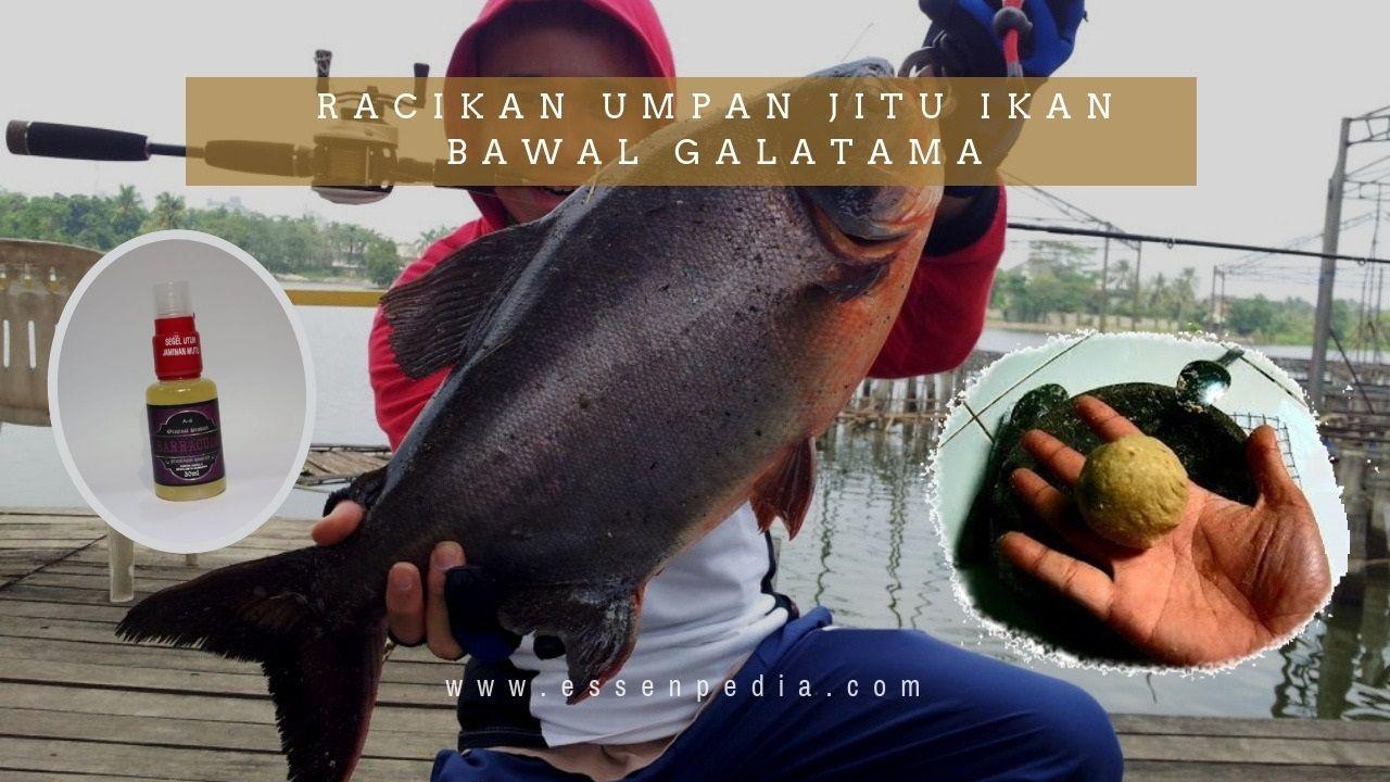 Racikan Umpan Jitu Ikan Bawal Galatama Paling Ampuh Kompasiana Com