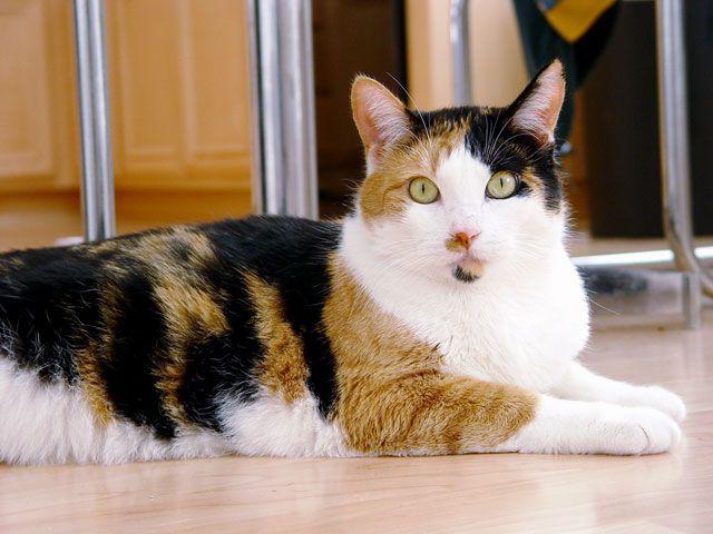 Mitos Atau Fakta Kucing Jantan Belang Tiga Dimakan Induknya Kompasiana Com