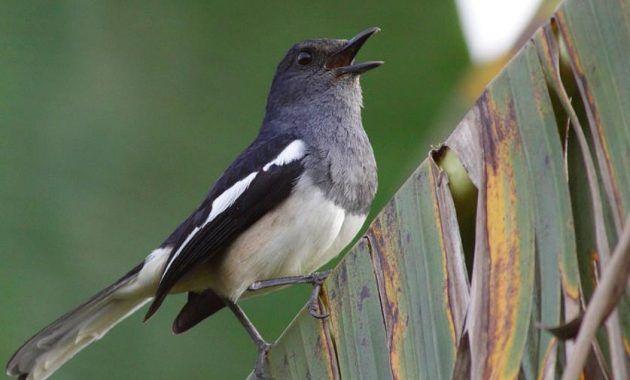 Cara Merawat Burung Kacer Supaya Rajin Berkicau Halaman 1 Kompasiana Com