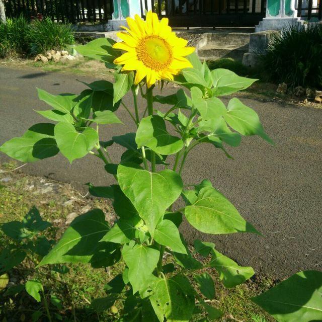 Bunga Matahari Sang Pemikat Hati Halaman 1 Kompasiana Com