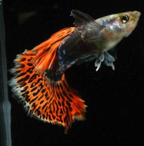 Ikan Ini Tak Kalah Indah Dengan Ikan Cupang Kompasiana Com