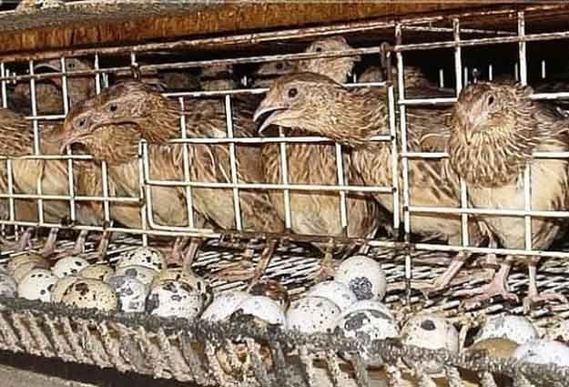 Peningkatan Usaha Peternakan Burung Puyuh Di Pedesaan Halaman All Kompasiana Com