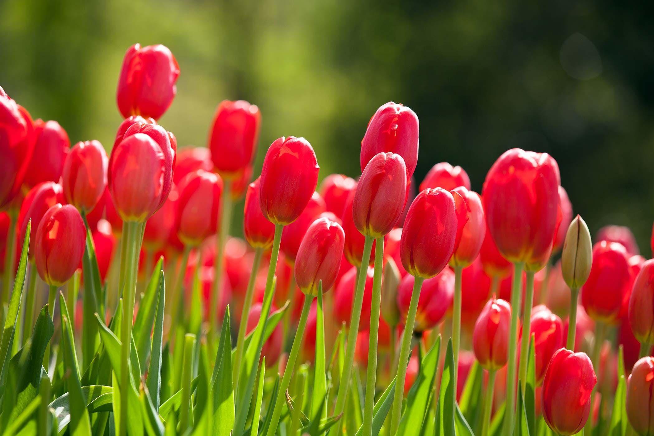 Puisi Tulip Di Pekarangan Rumahmu Kompasiana Com