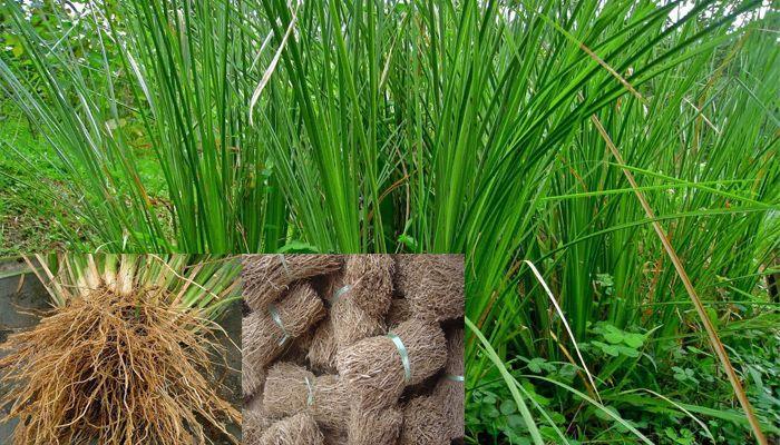 Hasil gambar untuk minyak kayu akar wangi