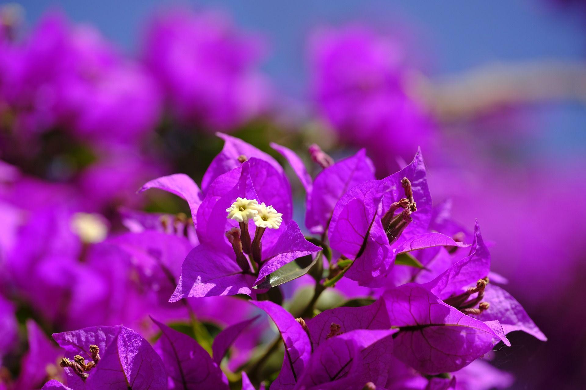 Deskripsi Bunga Kertas Kompasiana Com