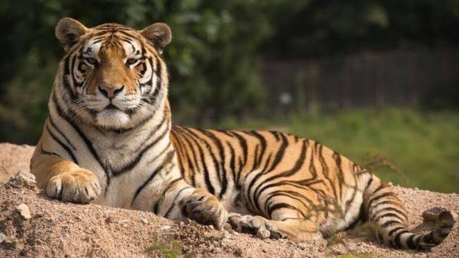 Resensi Novel Harimau Harimau Halaman All Kompasiana Com