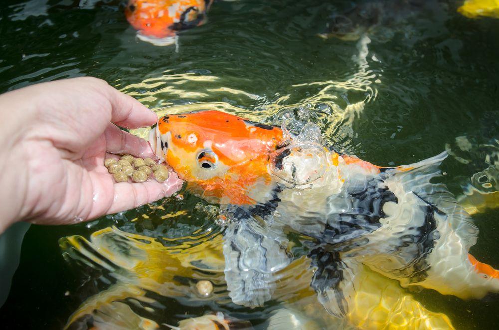 Cara Membuat Makanan Ikan Koi Sendiri Yang Bernutrisi Tinggi Kompasiana Com