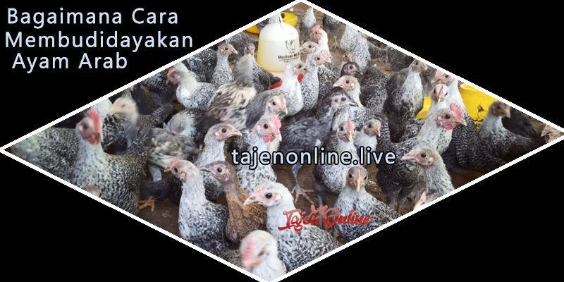 Bagaimana Cara Membudidaya Ayam Arab Halaman All Kompasiana Com