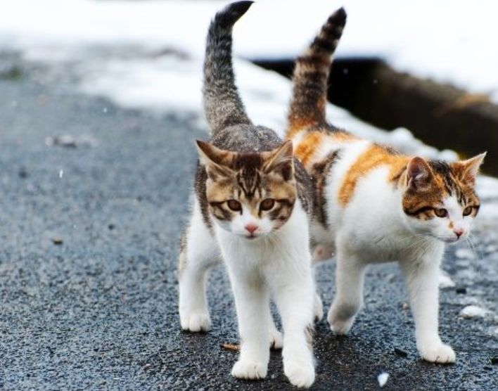 Perbedaan Jenis Ciri Ciri Kucing Domestik Ras Asli Dan Mixdome Halaman 1 Kompasiana Com