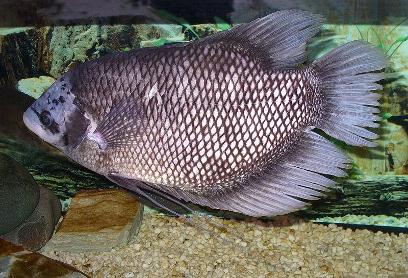 Cara Mengobati Ikan Gurame Banyak Yang Mati Supaya Kembali Sehat Dan Bongsor Halaman All Kompasiana Com