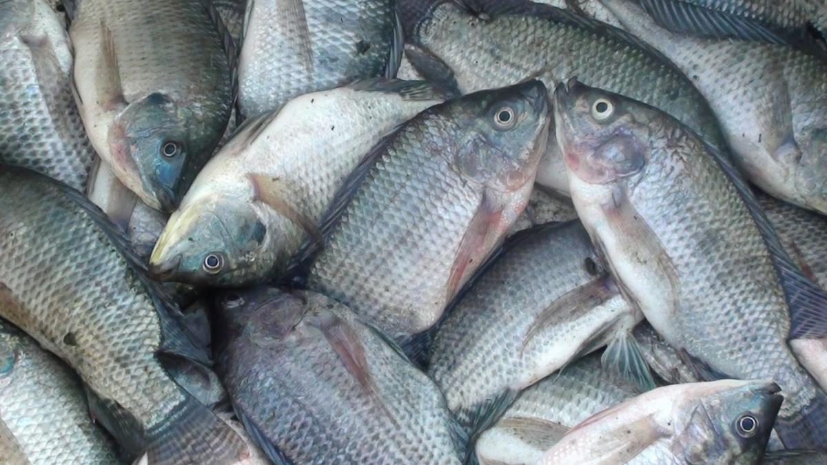 Racikan Umpan Ikan Nila Liar Paling Jitu 100 Halaman All Kompasiana Com