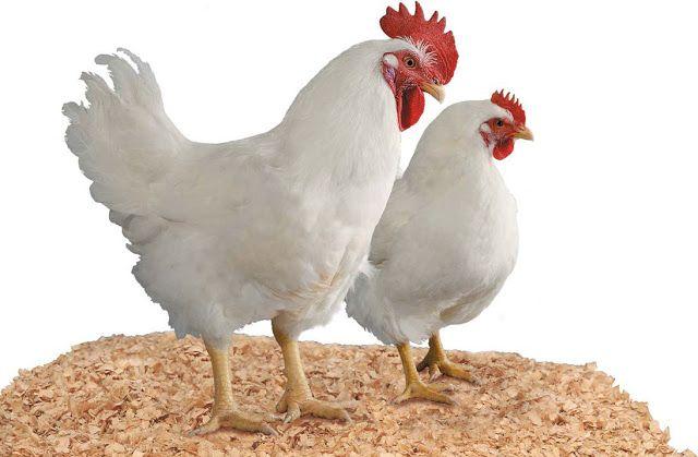 Budidaya Ayam Pedaging Halaman 1 - Kompasiana.com