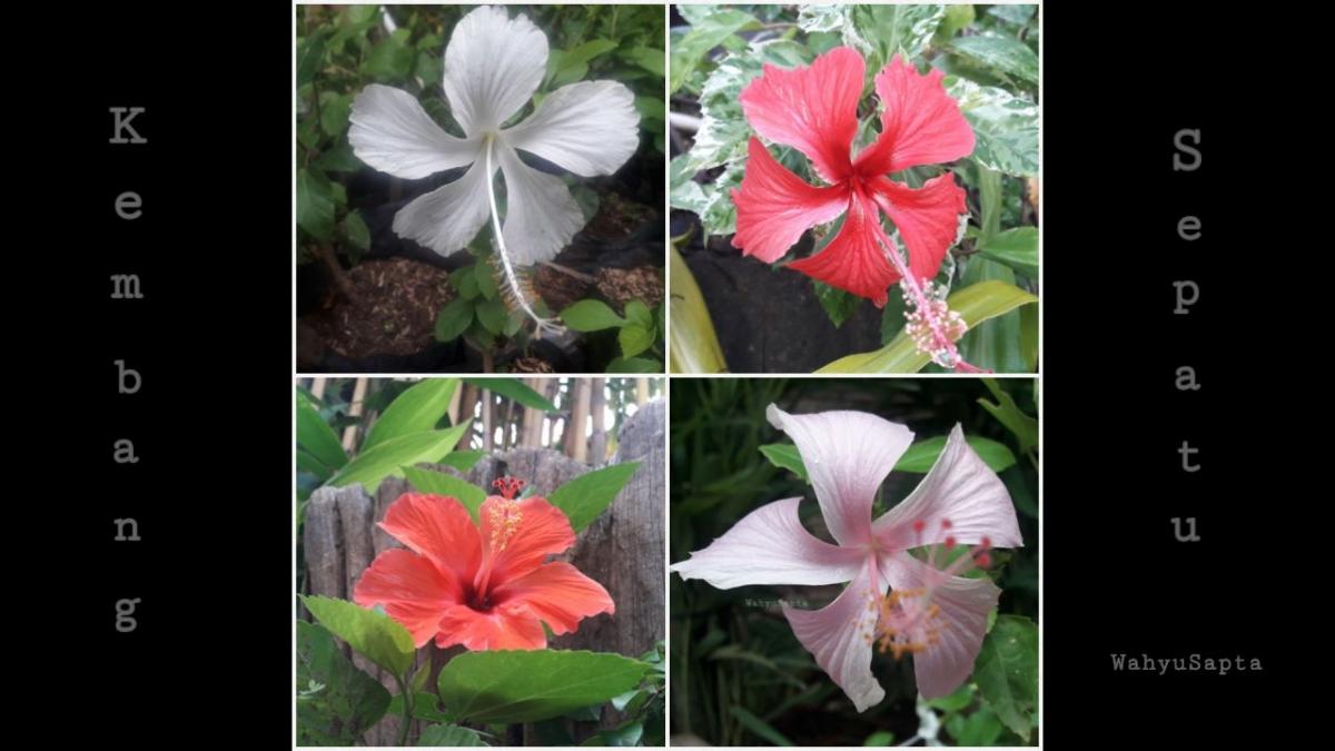 Koleksi Bunga Sepatu Saya Sebagai Moodbooster Halaman 1 Kompasiana Com Tanaman hias bunga sepatu