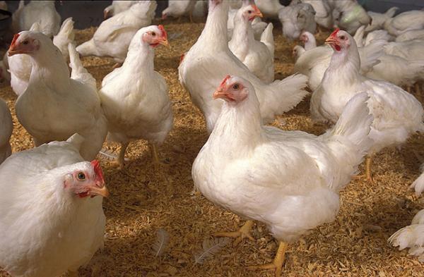 Bohaynya Usaha Ayam Potong Modal Sejuta