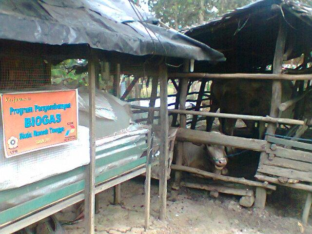 Kotoran Sapi Energi Alternatif Biogas Andalan Oleh Sholehudin