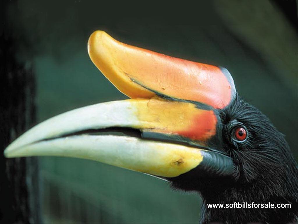 Mengenal Burung Enggang Khas Kalimantan Kompasiana