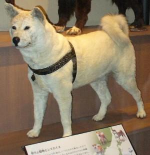 Kisah Kesetiaan Seekor Anjing Bernama Hachiko oleh Sugiman
