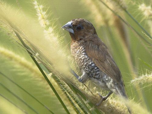Bukan Hobi Biasa Pelihara Burung Emprit Kompasiana Com