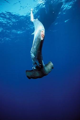 97 Gambar Ikan Hiu Ganas HD