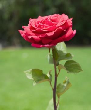 Antara Bunga Mawar Dan Edelweis Kompasiana Com